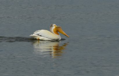 Explaining an American White Pelican's misshapen bill