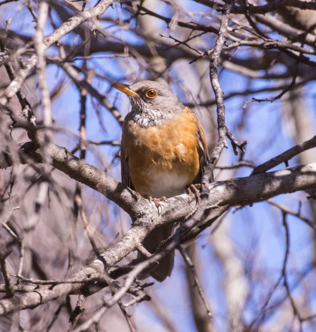 Rufous-backed Robin - BirdWatching
