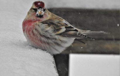 How birds keep warm in the winter