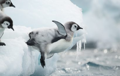 Scientists track behaviors of young Emperor Penguins