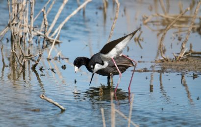 Black-necked Stilt and American Coot