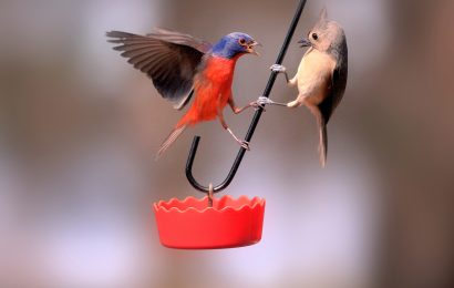 Painted Bunting and Tufted Titmouse