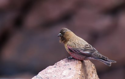 Red List updates a mixed bag for North American birds