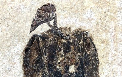 Earliest known perching bird discovered in Wyoming