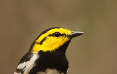 Judge upholds Endangered Species Act protections for Golden-cheeked Warbler