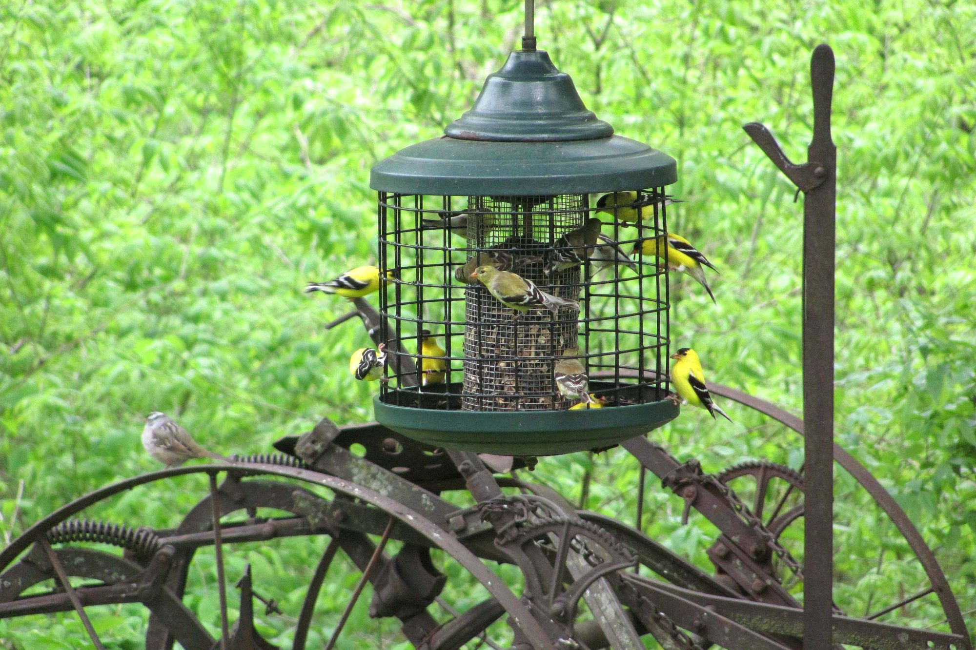Finches at a caged bird feeder