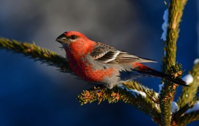 Maps from eBird track Pine Grosbeak