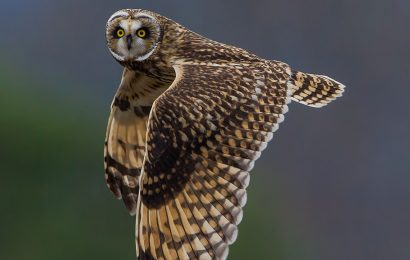 eBird maps track Short-eared Owl movements