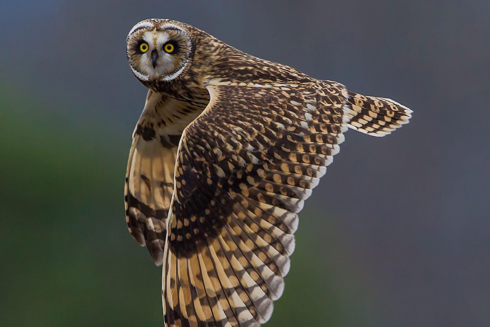 short-eared-owl-steve-large.jpg