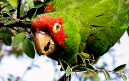 Study: Rat poison killing, sickening parrots of Telegraph Hill