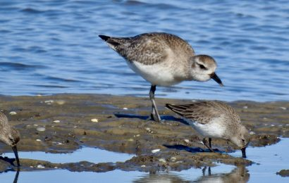 Dunlin and Black-bellied Plover