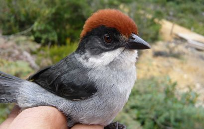 Lost Colombian brushfinch found in the wild for the first time