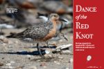 Dance of the Red Knot