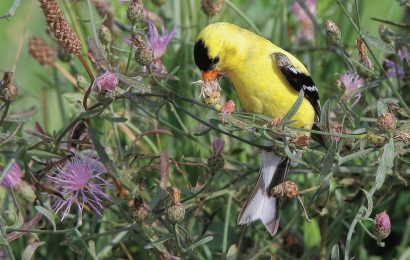 Tips for finding and growing native plants for birds