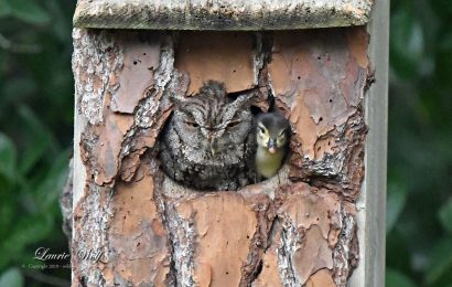 Young Wood Duck emerges from a screech-owl's nest box