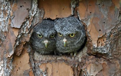 The screech-owl that hatched a duckling now has owlets