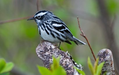 eBird maps track Black-and-white Warbler