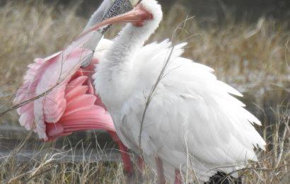 Roseate Spoonbill & White Ibis