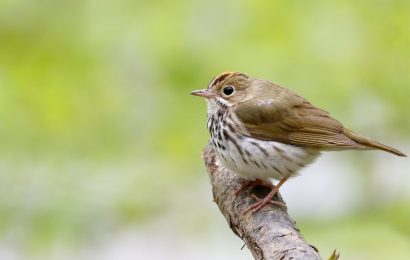 Locate Ovenbirds with the help of eBird distribution maps