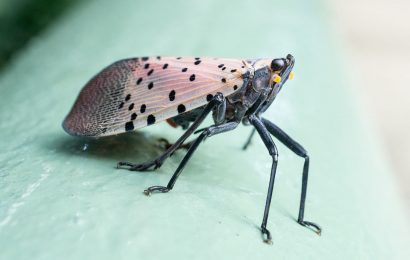 How to control spotted lanternflies without harming birds