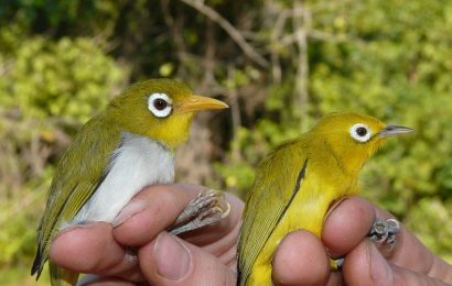 Scientists describe two new white-eye species