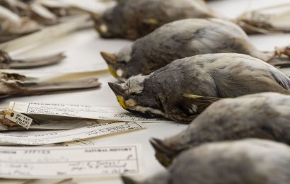 Study: Birds that call in flight more likely to hit buildings