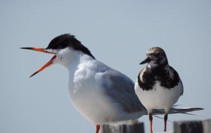 Common Tern and Ruddy Turnstone