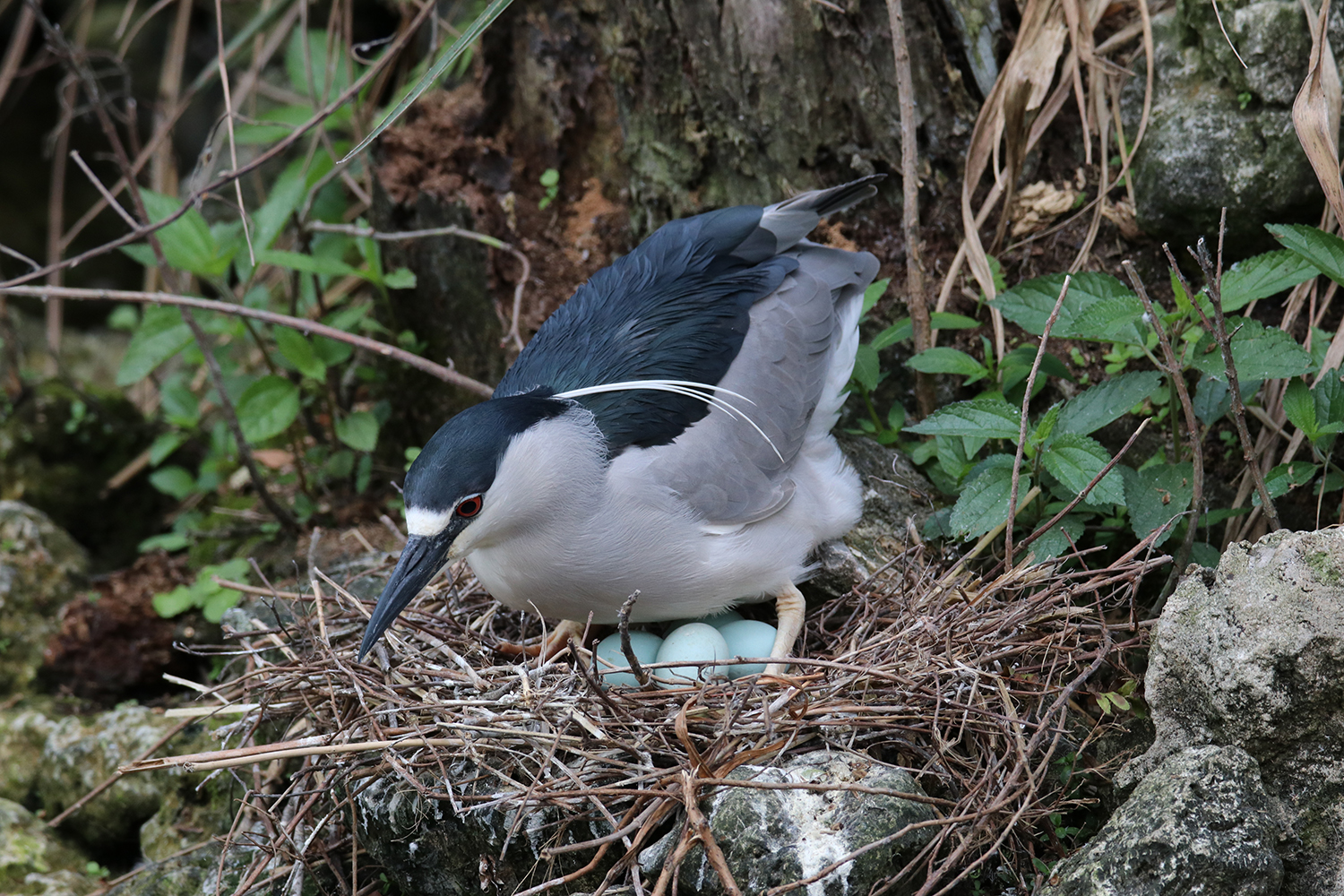 Black-crowned Night-Heron Clutch