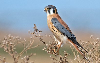 Take a look inside an American Kestrel nest