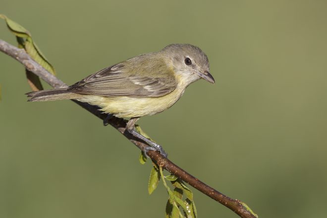 Bell's Vireo, Midwestern race