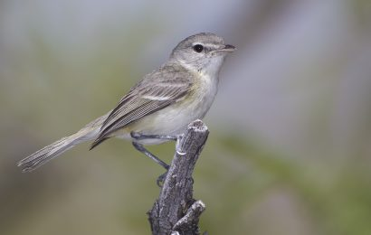 Tips for identifying Bell's Vireo