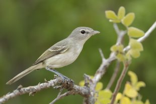 Bell's Vireo, California race