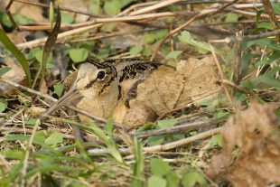 American Woodcock on its nest