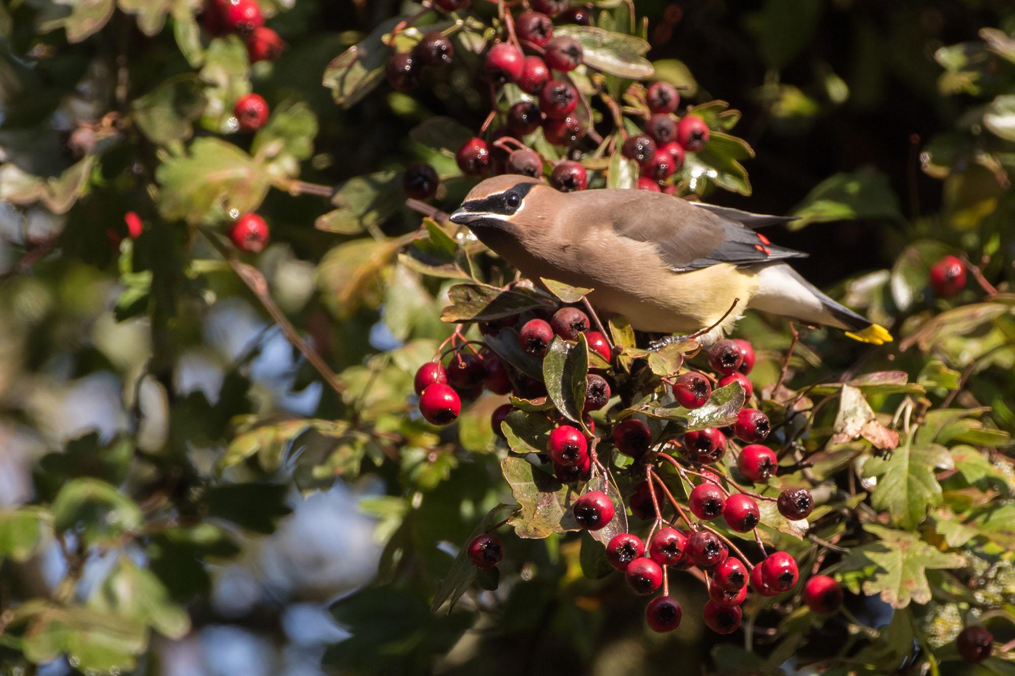 Cedar Waxwing eating hawthorn berries