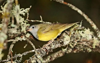 Locate Connecticut Warbler with the help of eBird maps
