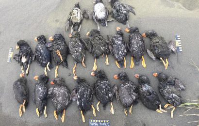 Climate change suspected in mass die-off of puffins