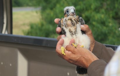 500th Aplomado Falcon nestling banded in South Texas