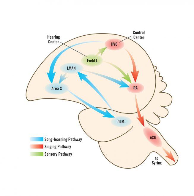 Bird's brain