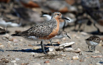 New hope for Red Knots