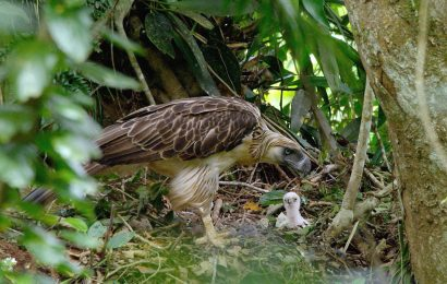 Documentary about Philippine Eagle shines