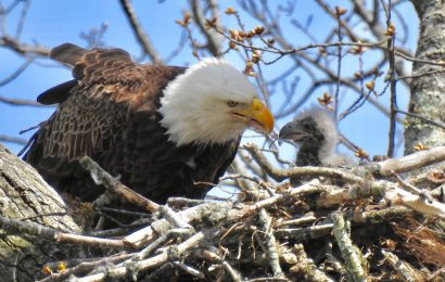 Bald Eagle photo gallery: From nestlings to full-grown fledglings
