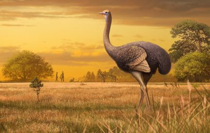 New study: Giant ostrich-like birds once roamed Europe
