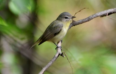 Spot Philadelphia Vireo with help from eBird maps
