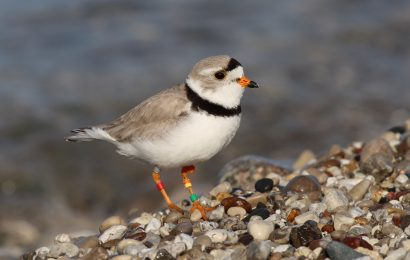 Helping Piping Plovers return home