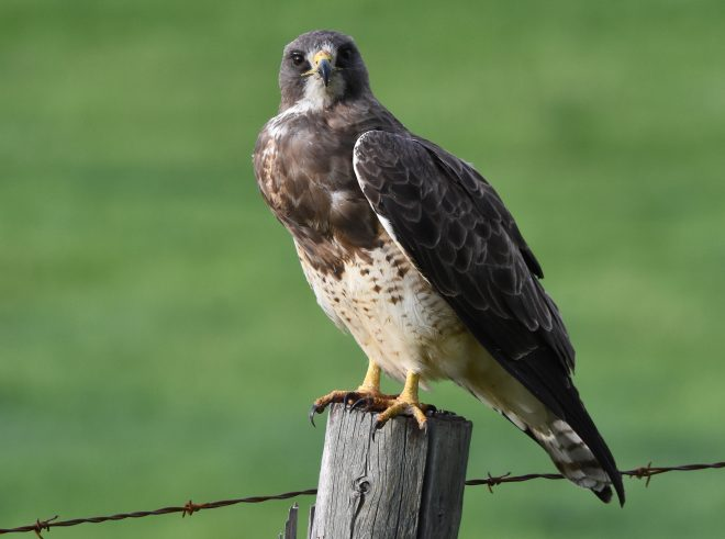 Swainson's Hawk - BirdWatching