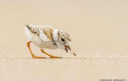 Piping Plovers, concert conflicts, and rising waters