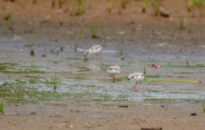 Three Piping Plover chicks hatch in Chicago, forcing cancellation of concert