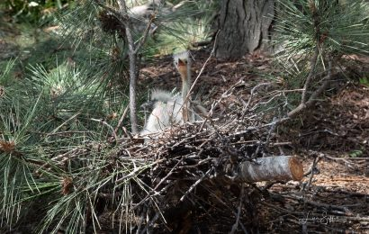 Tree trimmers damage St. Louis heron rookery, birders act to save the birds