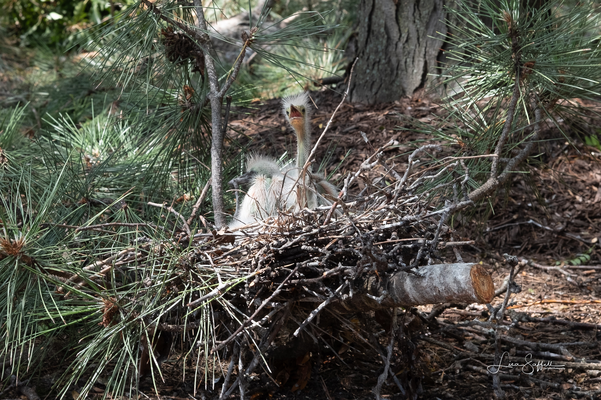 St. Louis heron rookery