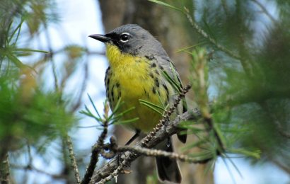 Feds considering status changes for Endangered birds